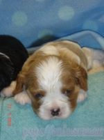 KC CAVALIER KING CHARLES SPANIEL FOR ADOPTION