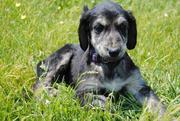 Afghan Hound Puppies For Sale.