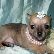 cute tea cup yorkie and chihuahua puppy for free adoption