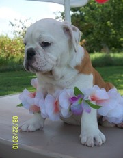 Charming English Bulldog Puppies for a lovely home